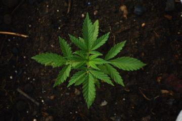 The Easy Money Marijuana Era is Over